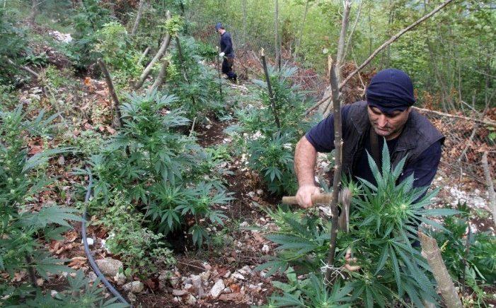 Police Captures 4,2 Ton Cannabis in Mirdita