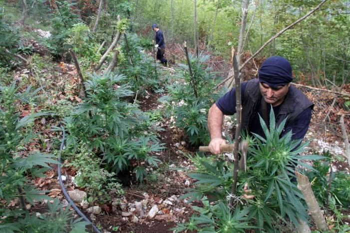 European Drug Report: Increased Cannabis Production in Albania