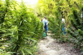 Weed Cultivation Booms in Albania