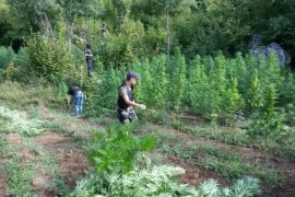 24 Tons of Albanian Cannabis Captured in 30 Days