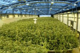 Albanian Cannabis, Arrests in UK and Italy
