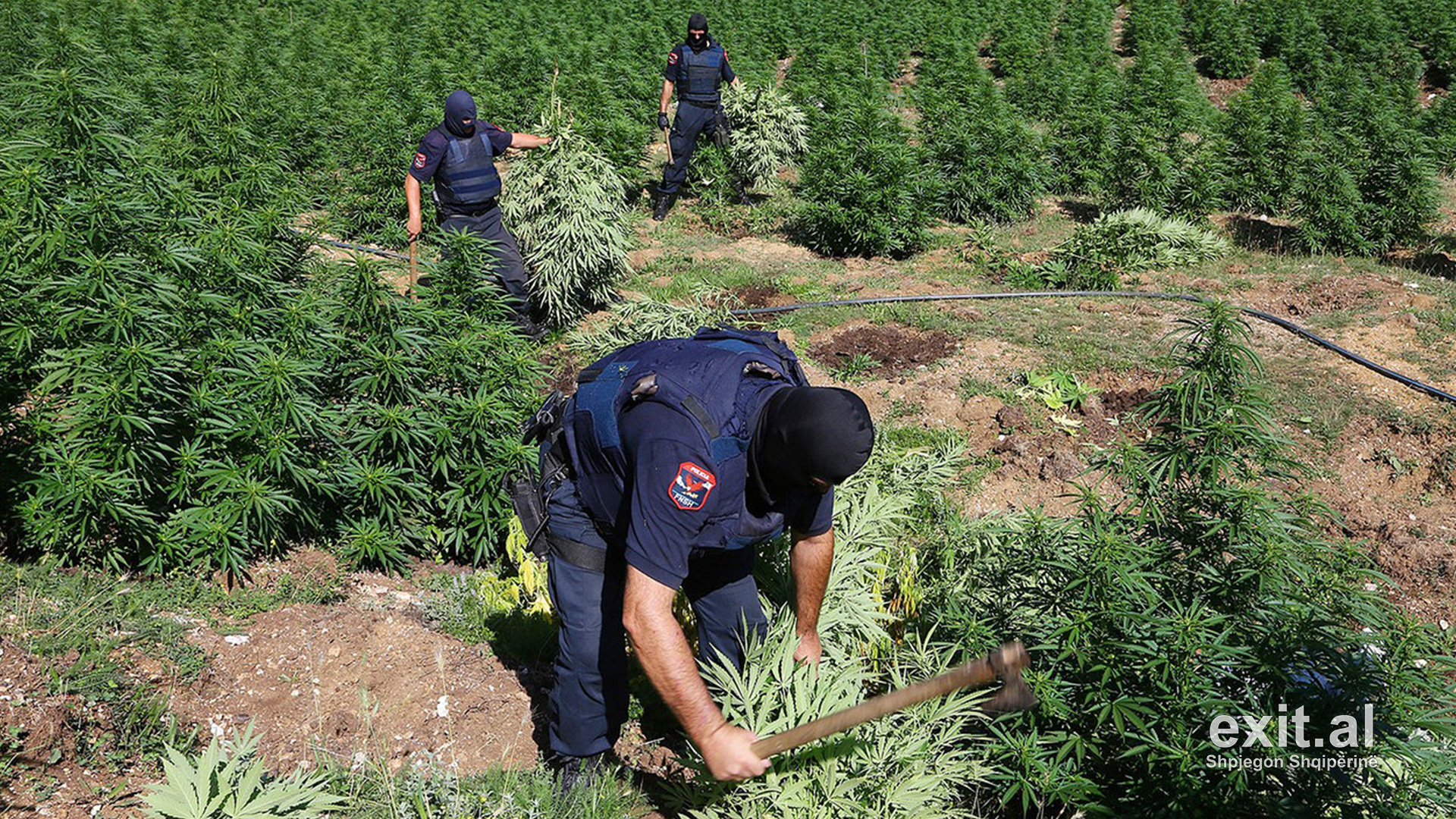 Italian Police Report 1,200% Increase in Cannabis Cultivation in Albania