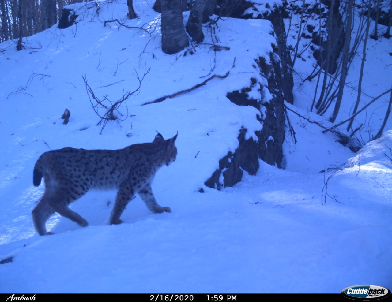 Critically Endangered Lynx Family Spotted in Eastern Albania