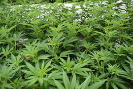 Cannabis Cultivation in Albania Expected to Increase due to Coronavirus