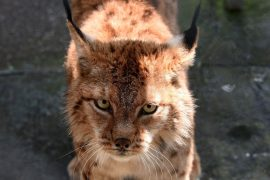 In Albania, the Last Balkan Lynx at the Mercy of Poaching