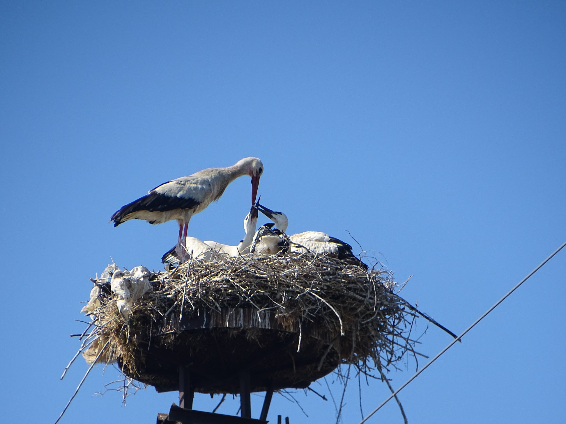 White Storks in Fier Welcome 10 Chicks