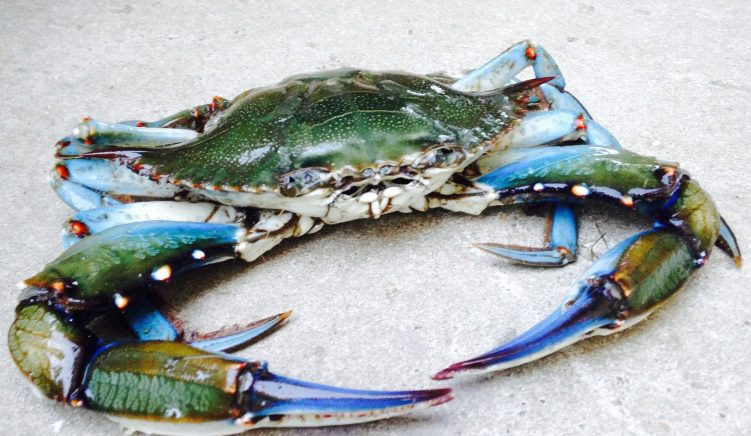 Invasion of Blue Crabs Threatening Livelihood of Albanian Fishermen