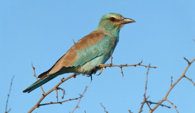 Three Nests of Critically Endangered European Roller Found in Albania