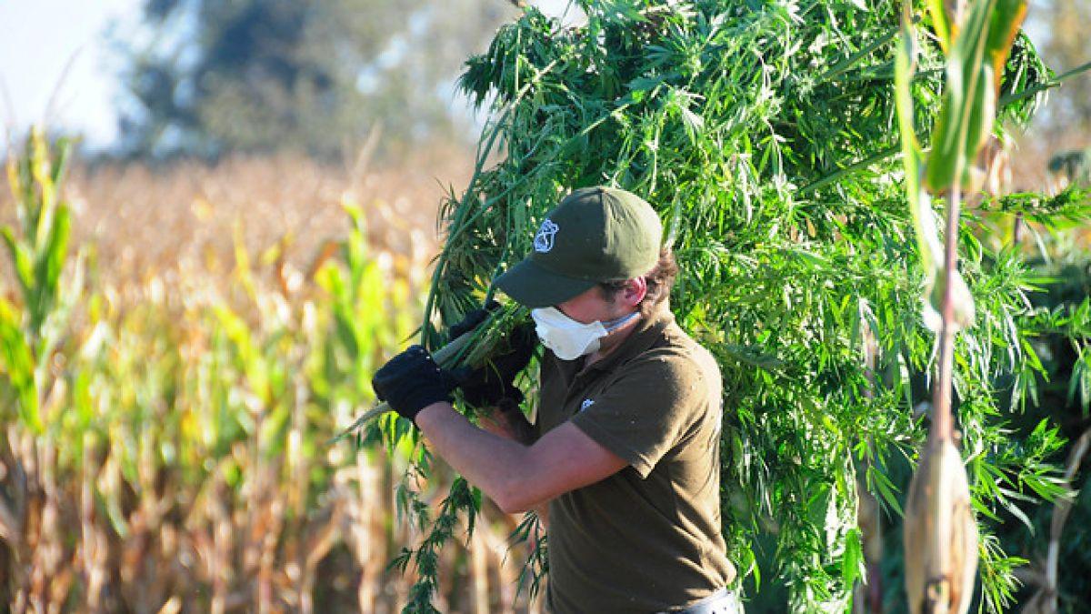 Arrestohen dy të dyshuar për kultivim lëndësh narkotike në Skrapar