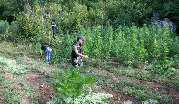 Raporti i policisë: kanabisi lulëzon, brenda një viti është pesëfishuar sipërfaqja e mbjellë