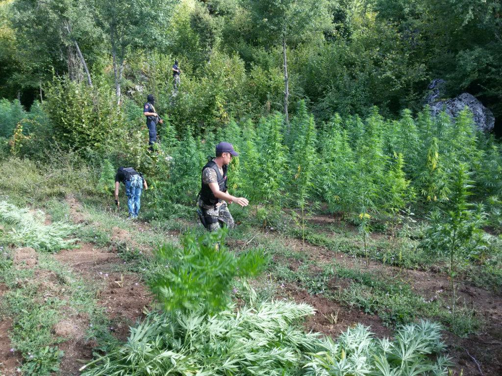 Dokumenti sekret i policisë: Shqipëria plantacion i madh droge