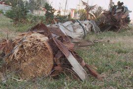 Autostrada Tiranë-Durrës, hiqen palmat që kushtuan 600 mijë euro
