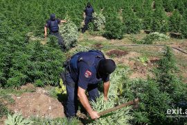 Rai3: Me lekët e marjuanës, mafia shqiptare po sundon krimin europian