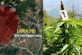 Raporti: 4,000 bimë kanabisi u asgjësuan vetëm 4 ditët e fundit