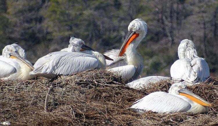 Numri i pelikanëve në parkun e Karavastasë, arrin numrin më të madh në 35 viteve