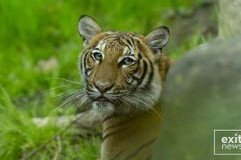 SHBA, tigri i një kopshti zoologjik diagnostikohet me Covid-19